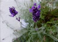 Lavendelblüten...
